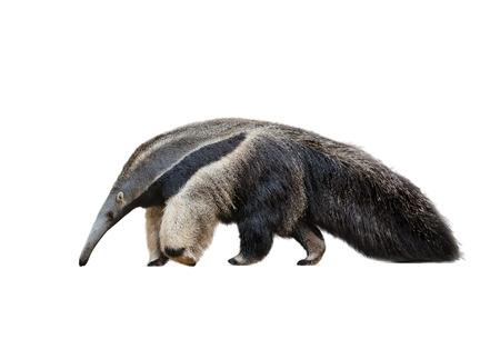 hormiga: Gigante oso hormiguero masculino caminar aislado en un fondo blanco