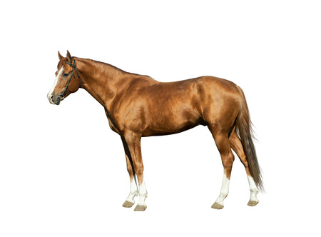 Chestnut stallion isolated over a white background