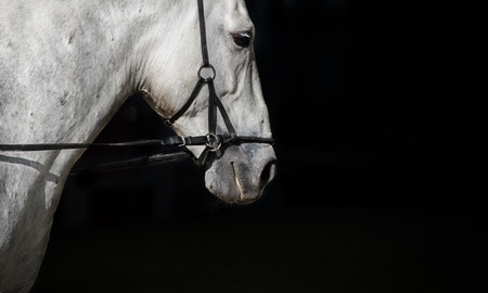 girth: Spanish horse on a black background in training Stock Photo