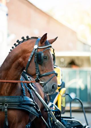 blinkers: Portrait of bay trotter horse in race equipment on hippodrome