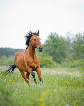 Young purebred bay stallion running on a pasture, front view