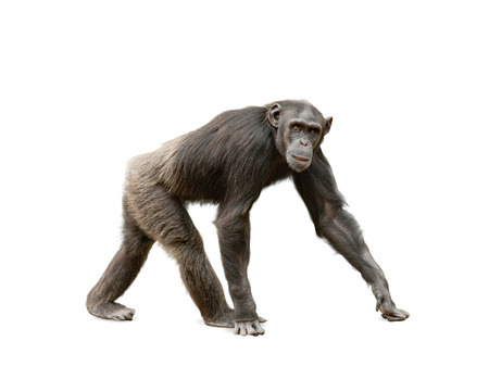 caminando: Ape hembra chimpancé mirando a la cámara, caminando sobre un fondo blanco