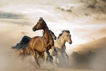 Beautiful horses of different breeds running in dust on sunset
