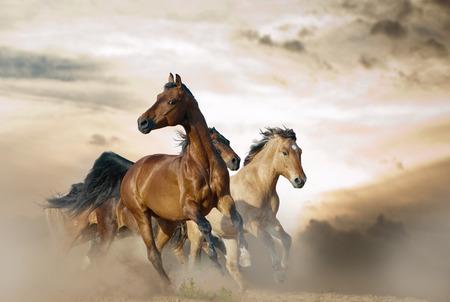 caballo negro: Hermosos caballos de diferentes razas que se ejecutan en polvo en la puesta del sol
