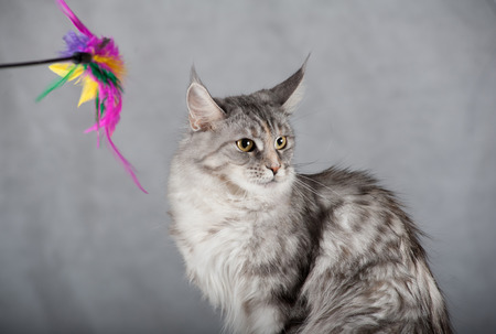 coon: Beautiful maine coon cat over a grey background