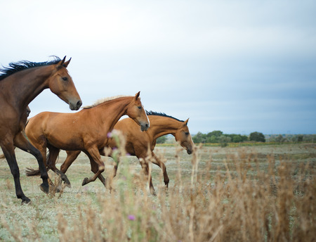 horses in the wild: Wild beautiful horses running on freedom Stock Photo