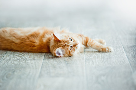 fluffy: Cozy ginger maine coon kitten having rest on a floor in daylight (focus on head)