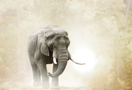 animal ear: african elephant walking in desert over a grunge background