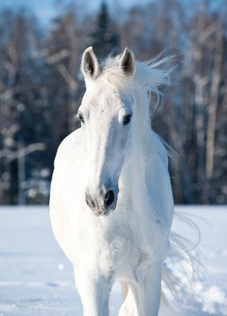 Wild Animals: Portrait of snowy white horse in wintertime Stock Photo