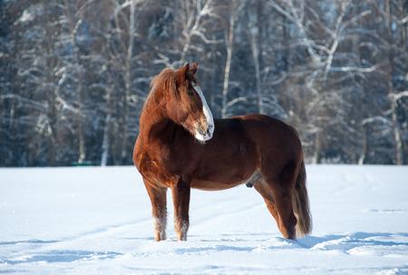 chestnut male: Chestnut draft breed stallion posing in winter forest