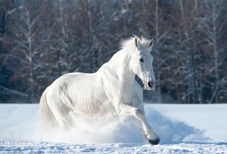 snowdrifts: Snowhite horse running through snowdrifts in winter time