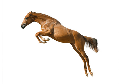 young purebred chestnut horse in jump isolated over a white