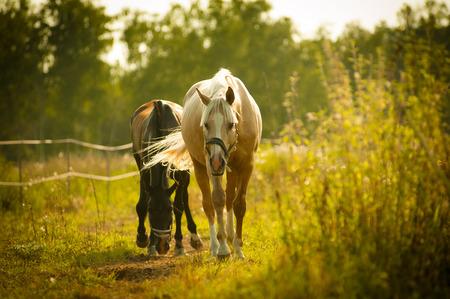 grazing: horses walking in paddock in sunset light