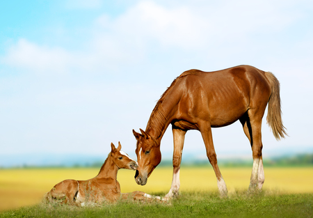 Chestnut purebred mare with foal on a field