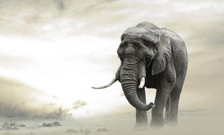 elephant�s: elefante macho africano caminando solo en el desierto al atardecer