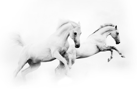 two powerful snow white horses jumping over a white background Archivio Fotografico