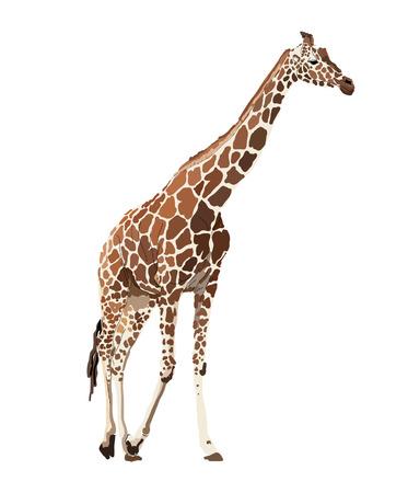ojos marrones: Imagen de la jirafa camina sobre un fondo blanco