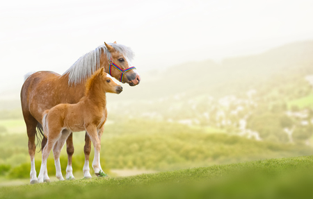domestic animals: Welsh ponies mare and foal on nature