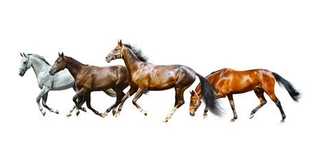 run faster: Beautiful purebred horses running isolated over a white background
