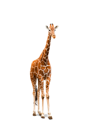 Young giraffe isolated over a white, front-view