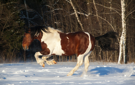 pinto: Playful pinto draft horse running in snowy field