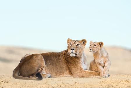 Leeuwin met haar welp die rust in de woestijn Stockfoto