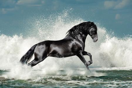 zwarte Andalusische hengst loopt door de zee golf schuim