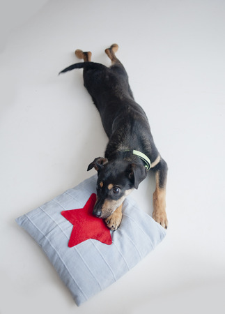 small dog: cute puppy laying on a small pillow Stock Photo