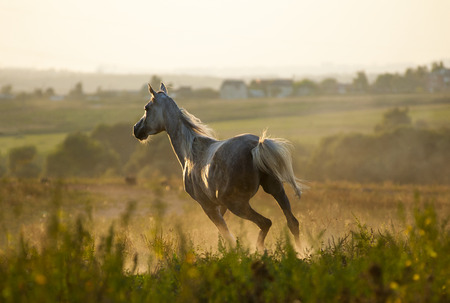 arab beast: horse running gallop in sunset forest Stock Photo