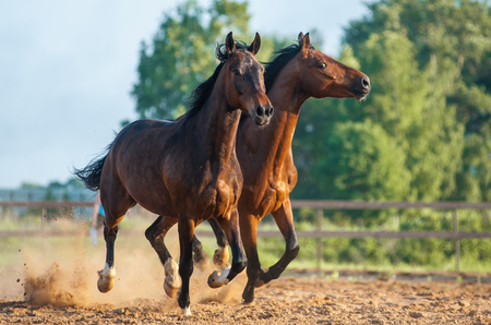 Two beautiful horses galloping together in sunset Foto de archivo