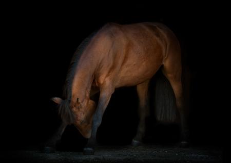 reverence: horse is making reverence, black background