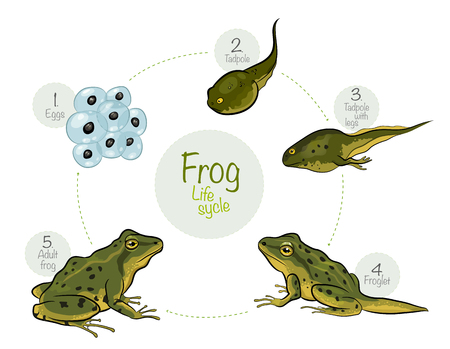 ベクトル イラスト: カエルのライフ サイクル