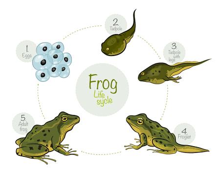 벡터 일러스트 레이 션 : 개구리의 생명주기 일러스트