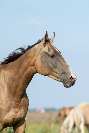 purebred akhal-teke horse portrait in summer