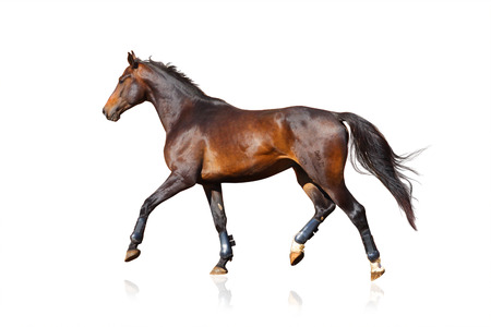 Trotting horse in horse shoes isolated over a white background