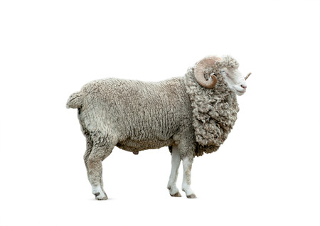 merino: ram isolated over a white background