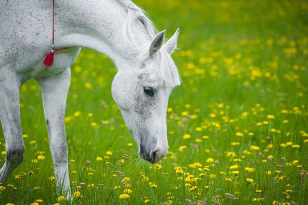 arab beast: white horse grazing in dandelion field in may Stock Photo