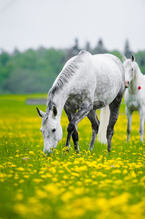 grazing: gray horse grazing in dandelion field