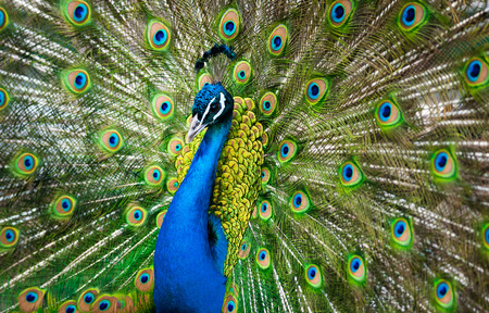 indian peafowl: peacock male showing his beauty