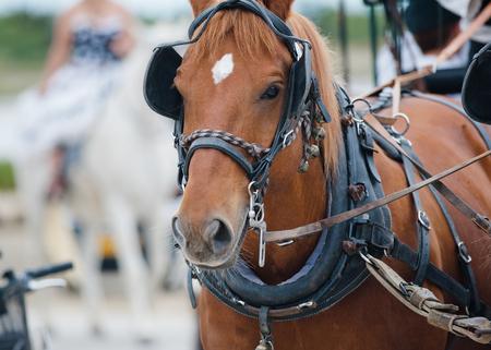 chestnut horse in carriage closeup portrait