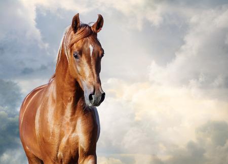 曇り空と栗のアラビアの馬の肖像画