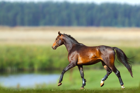 chestnut male: Young purebred bay horse training in summer Stock Photo