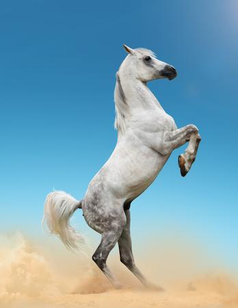 rearing: Beautiful gray arab stallion rearing