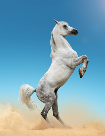 Beautiful gray arab stallion rearing