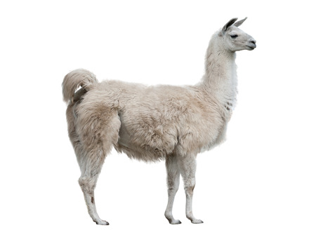 adult lama exterior isolated over a white background