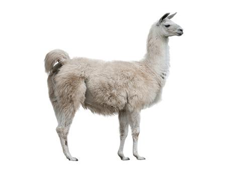Volwassen lama exterieur geïsoleerd over een witte achtergrond