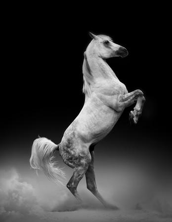 rearing: Concept: arab stallion rearing Stock Photo