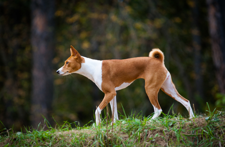 Young basenji dog walking in forest, in early autumn time