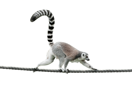 ring-tailed lemur walking on a rope isolated over a white background Stock Photo