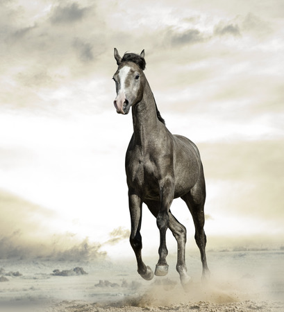 Young gray arabian colt is galloping in desert